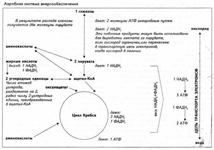 Аэробная система энергообеспечения