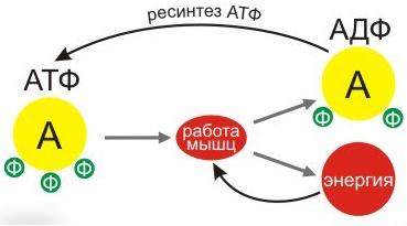 Ресинтез АТФ